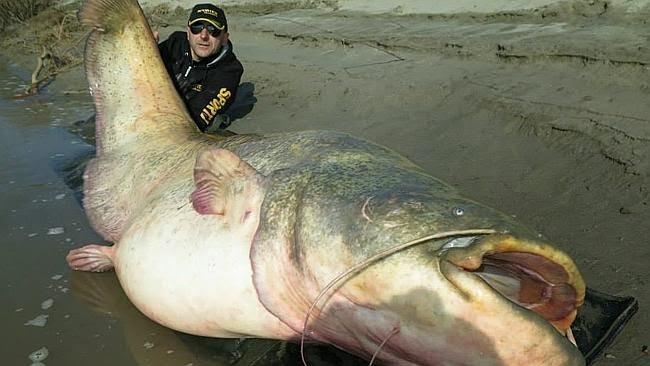 Ikan yang ukurannya lebih besar dari manusia