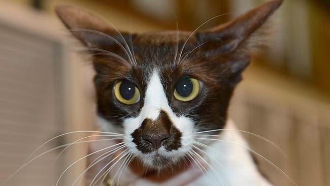 Kucing Australia