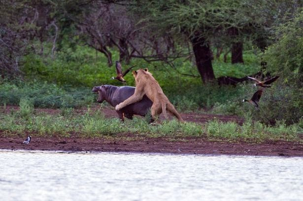 Singa terlihat sedang menerkam bayi kuda nil