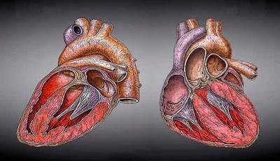 Ilustrasi jantung manusia