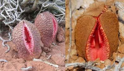 Bunga unik  Hydnora Africana
