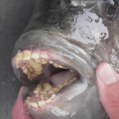 Gigi ikan pacu