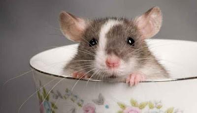 Cara Mengobati Gigitan Tikus yang Baik dan Benar