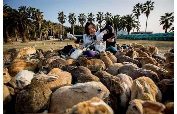 Pulau kelinci di Jepang