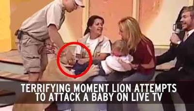 Singa menerkam anak balita