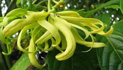 Bunga Kenanga