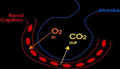 Oksigen mengalir dalam darah