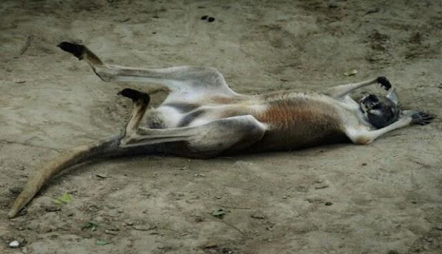 Hewan kanguru