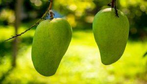 Manfaat buah mangga bagi kesehatan
