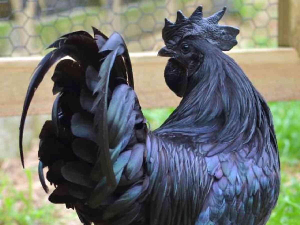 Ayam cemani paling mahal