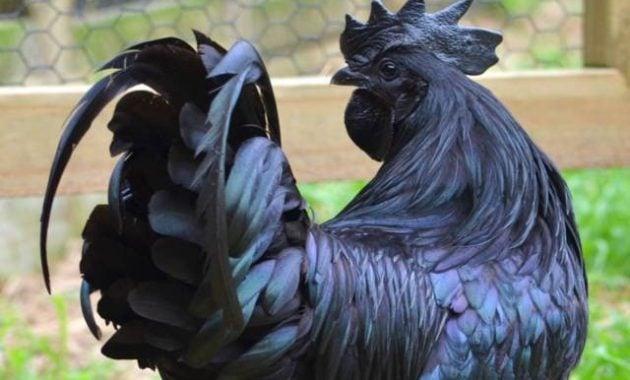 Hewan paling mahal Ayam cemani