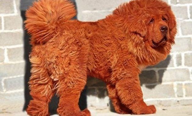Anjing Tibet paling mahal di dunia