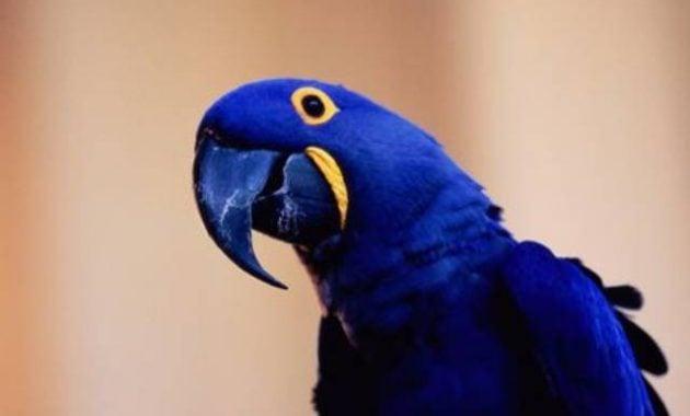 Hewan paling mahal burung beo