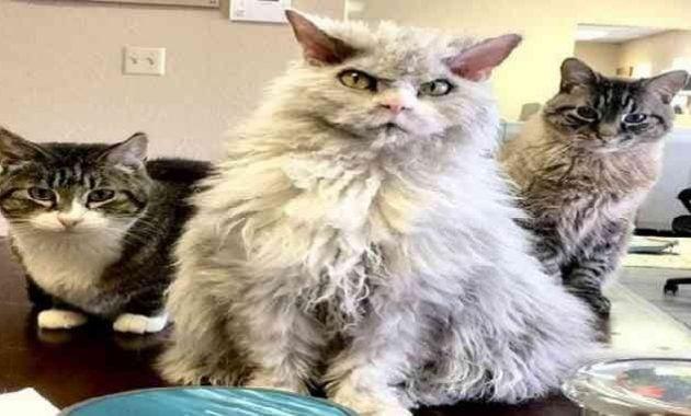 Kucing lucu berwajah garang