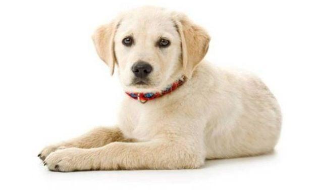 Jenis anjing paling mahal di dunia