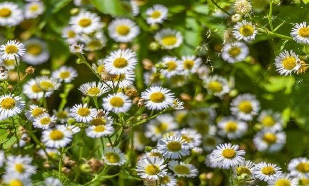 Khasiat bunga chamomile