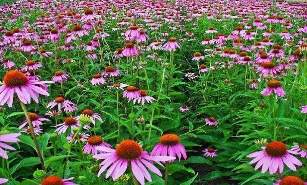 Khasiat bunga Echinacea