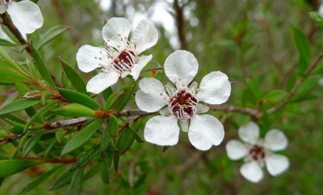 Khasiat tanaman tea tree