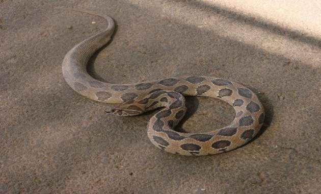 Ular chain viper