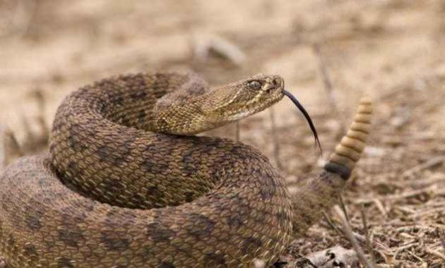 Ular derik, ular paling beracun di dunia