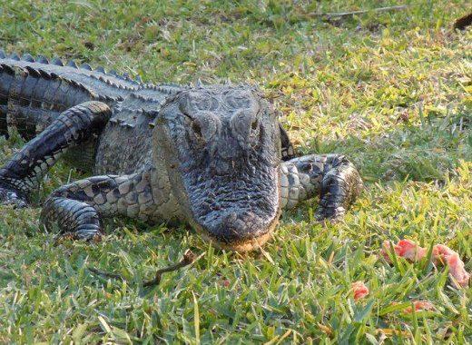 Moncong aligator
