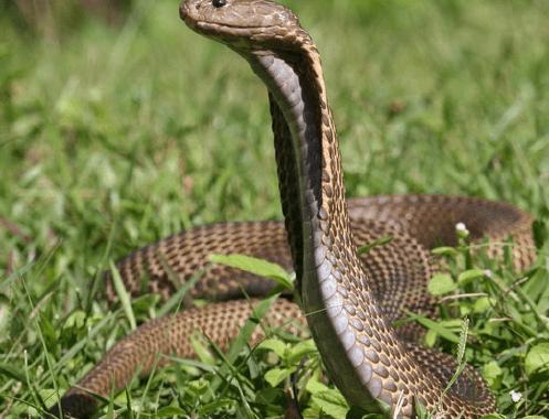 Ular cobra Filipina