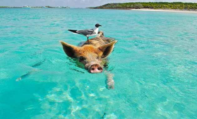 Babi berenang