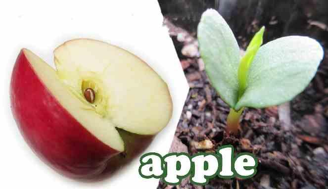 Menanam apel dari bijinya