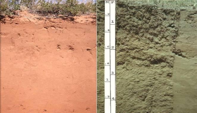Contoh tanah Entisol
